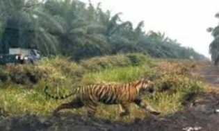 Di Tengah Pelarian, Harimau Bonita Masih Sempat Menyantap Umpan Kambing