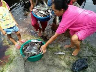 JMGR: Ribuan Ikan Mati Diduga Keracunan, DLH Pelalawan Harus Tanggap