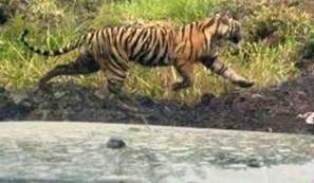 Harimau Pemangsa Dua Warga di Inhil Kembali Kabur