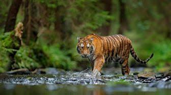 Harimau Masih Berkeliaran, Incar Hewan Ternak Warga Inhil