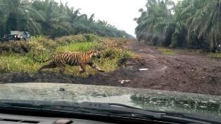 Harimau Bonita Mondar-mandir di Kawasan Penembakan Bius, Hutomo: Tim Mempersempit Ruang Geraknya