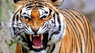 Ini Rekomendasi LHK Soal Harimau di Inhil yang Memangsa Warga