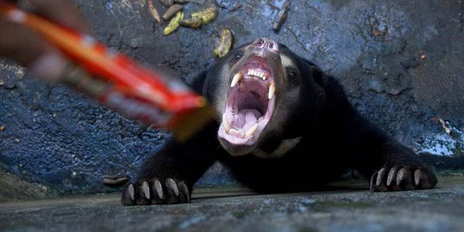 BBKSD Riau Turun Lacak Keberadaan Beruang Serang Warga