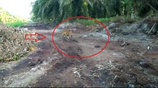 Tim Penyelamat Belum Juga Temukan Harimau Bonita