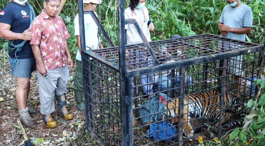 Harimau Pemangsa di Teluk Lanus Tertangkap